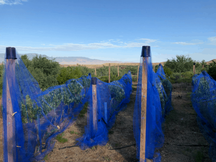 South vineyard Jul2019