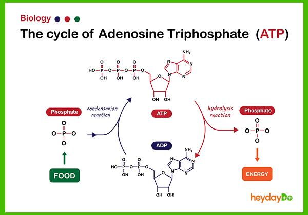 ATP process - heydayDo image