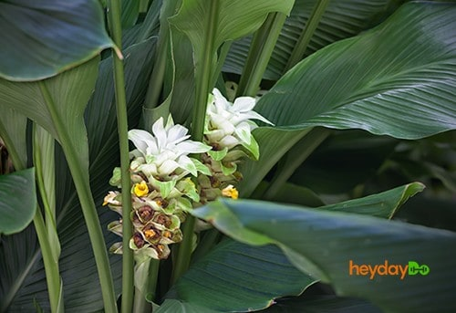 Blooming Turmeric plant - heydayDo image
