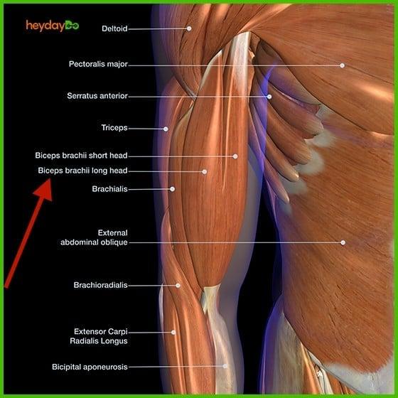 Biceps muscle anatomy sketch - heydayDo image