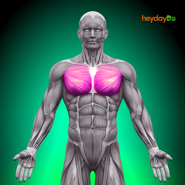Chest Muscles - Pectoralis Major used in the dumbbell pullover - heydayDo image
