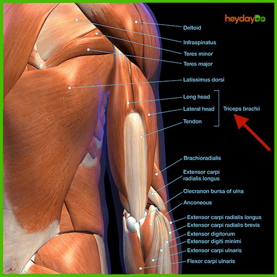 Triceps Anatomy - heydayDo image